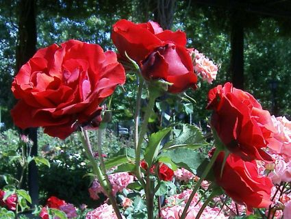C mo tener xito con nuestro jard n de rosas - Jardines con rosas ...