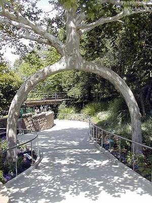 árbol entrenado y guiado