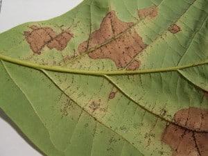 Enfermedades de las hojas de los árboles