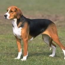 Perro foxhound cachorro
