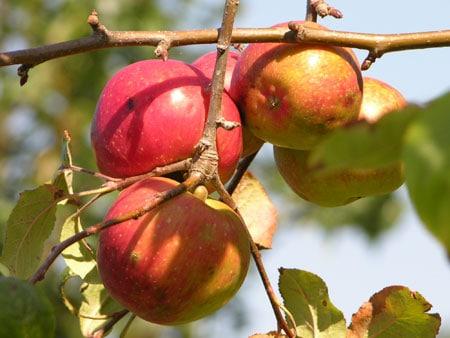 C mo proteger los rboles frutales de las aves - Como se podan los arboles frutales ...