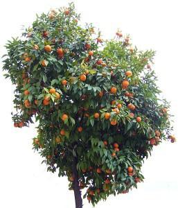 Naranjo en su hogar.