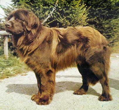 El perro terranova