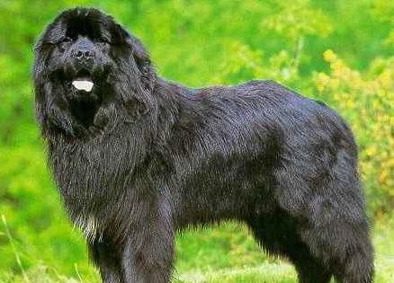 El perro terranova color negro