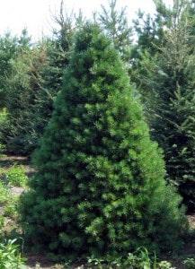 Pino escoces árbol para el jardín