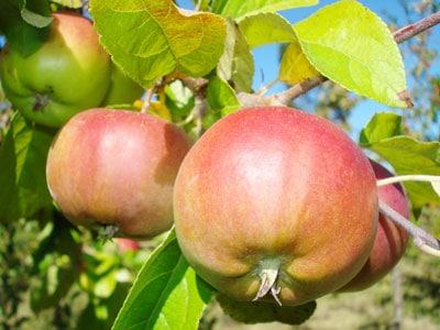 La salud de los árboles frutales