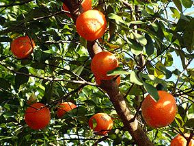 Arboles frutales saludables