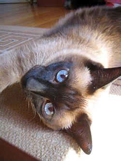 El peso de un gato siames varía entre los 4 y 5 kg en el macho, mientras que la hembra pesa entre 2,5 kg y 3 kg; este gato de tipo oriental