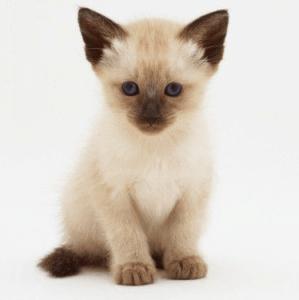 Un gato siamés cachorro