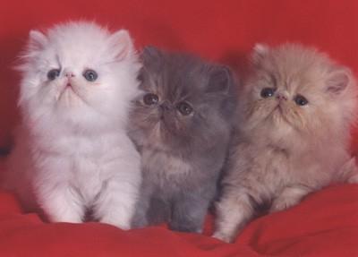 Lindos gatos persas cachorros