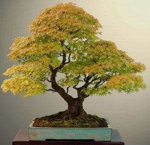 Preparando el suelo del bonsái
