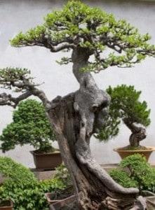Cuidados para el bonsai.