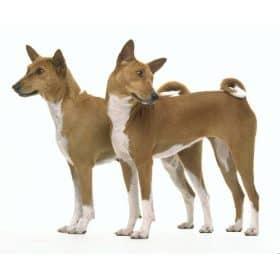 Las razas de perros mas antiguas de mundo!!!