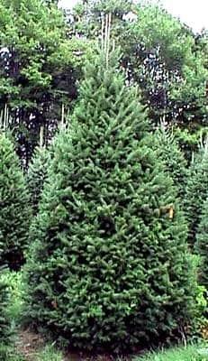 Preparando el árbol navideño