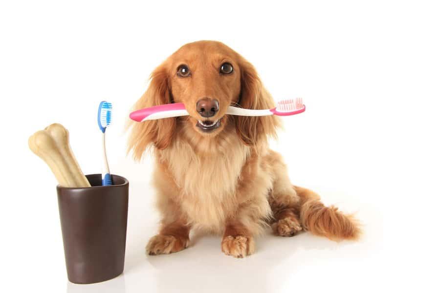 cepillar dientes perro